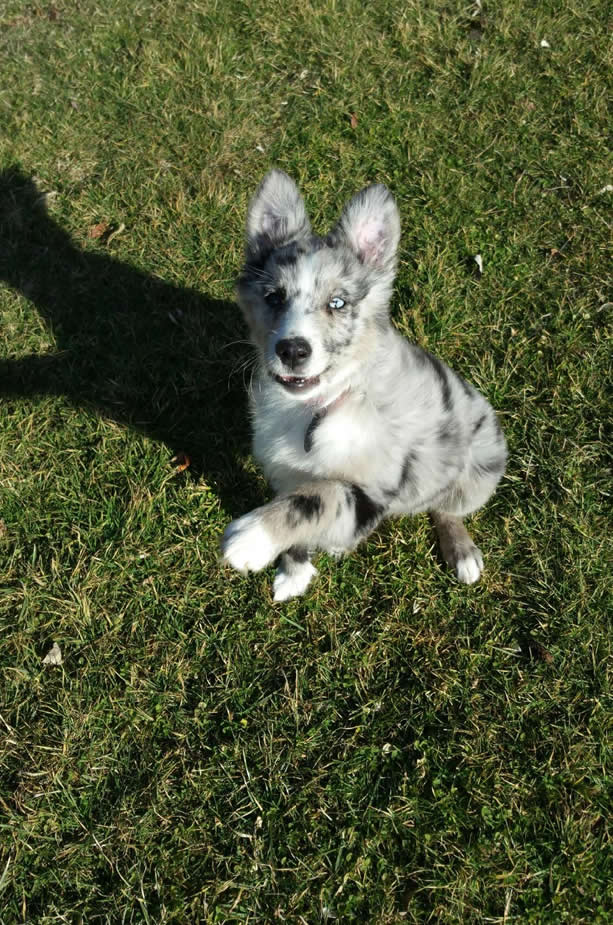 australian shepherd puppies for sale, aussies, ohio, blue merle, blue eyes