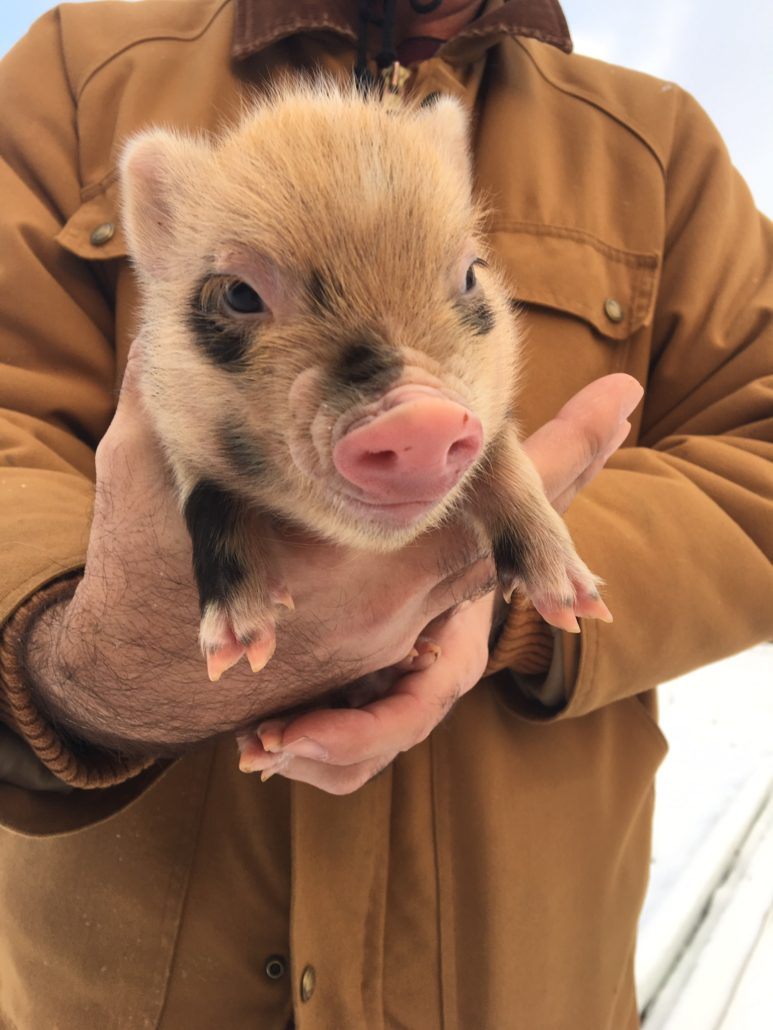 piglets for sale ohio